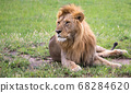 A big lion lies in the grass in the savanna of 68284620
