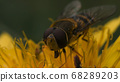 Extreme close up of a wasp on a yellow flower collecting pollen. Motion. Beautiful dandelion with wasp in macro, dangerous insects on blurred green grass background. 68289203