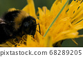 Close up of bee pollinating yellow flower dandelion on blurred green grass background. Motion. Small insect eating nector summer bright flower. 68289205