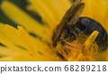 Extreme close up of a wasp on a yellow flower collecting pollen. Motion. Beautiful dandelion with wasp in macro, dangerous insects on blurred green grass background. 68289218