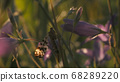 Natural background with an insect in the summer green field. Motion. Close up of sphingidae moth sitting on the stem of pink summer flower, spreading its wings and flying away. 68289220