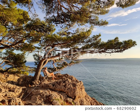 Pensive woman on vacations, sitting and relaxing under large pine tree on bench by dip blue sea enjoying beautiful sunset light in Brela, Makarska region, Dalmatia, Croatia 68290602