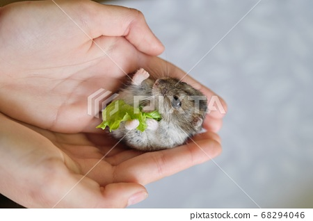 Small fluffy gray Dzungarian hamster eating green leaf of lettuce in child hand 68294046