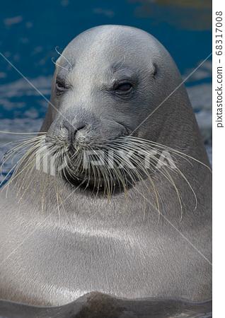 小鬍子海豹小樽水族館北海道小樽市海豹 68317008