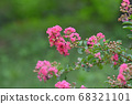 Red lagerstroemia flower 68321101