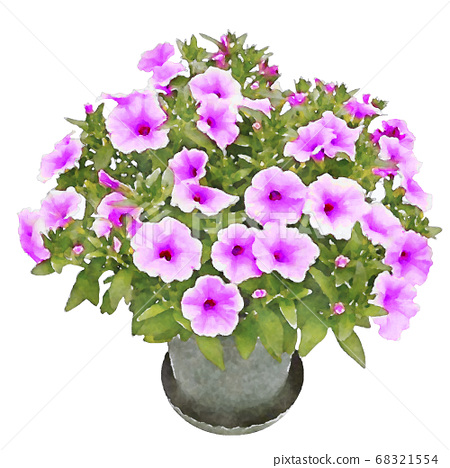 萨菲尼亚紫色矮牵牛图 68321554