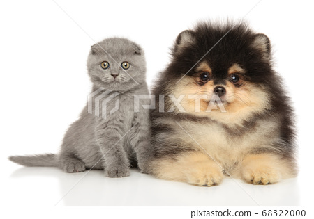 Scottish fold and Pomeranian puppy together 68322000