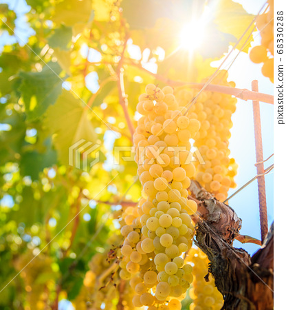 Whte grapes on a vine 68330288