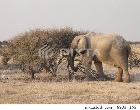 非洲大象吃一棵樹 68334105