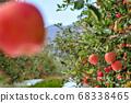 가을, 수확은 앞둔 사과 과수원 68338465