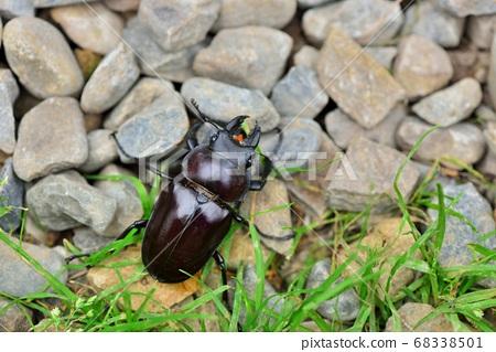 台灣鬼豔鍬形蟲 Feale (Odontolabis siva parryi)  68338501