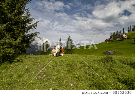 cow in dolomites mountain background 68352630