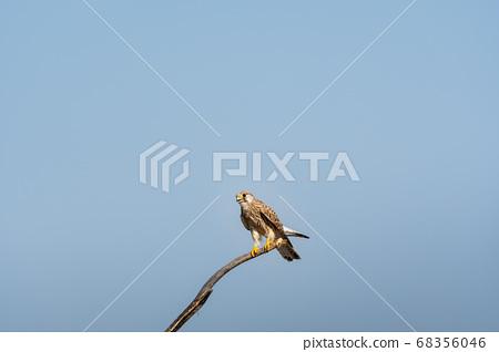 Common kestrel or Falco tinnunculus perched on branch at tal chhapar sanctuary churu rajasthan india 68356046
