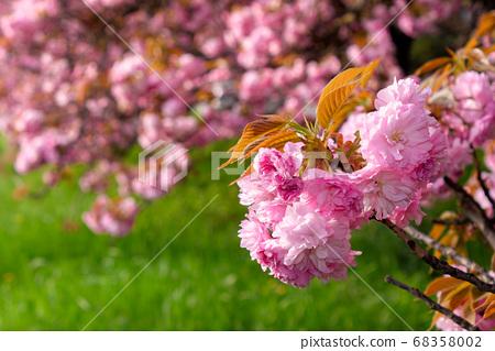 pink sakura blossom above the green grass. nature 68358002