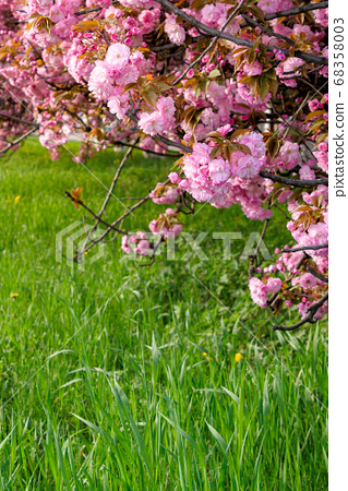 pink sakura blossom above the green grass. nature 68358003