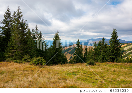 spruce forest on the hillside meadow. colorful 68358059