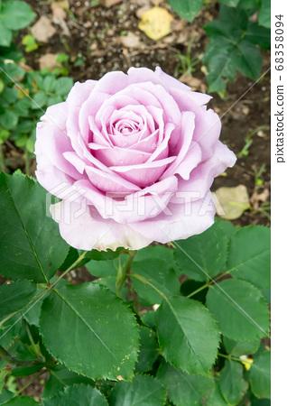盛開的玫瑰花 68358094