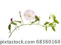 bindweed flower isolated 68360160