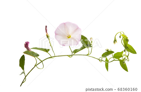 bindweed flower isolated 68360160