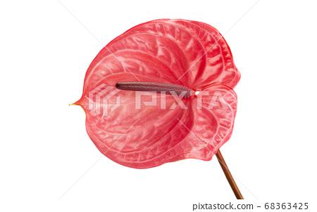 beautiful anthurium flower isolated 68363425