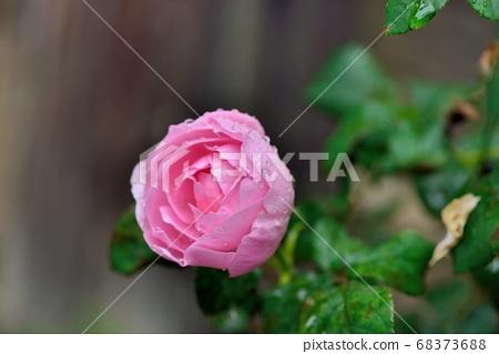 玫瑰花,拍攝影於新竹,台灣 68373688