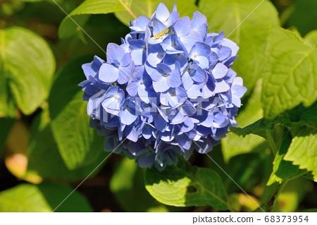 繡球花綻放於夏天的背景,在台灣. 68373954
