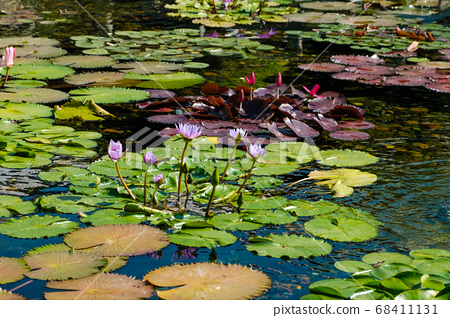 Lotus plant and water lily in pond in temple 68411131