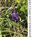 紫羅蘭 68422384