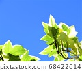 Ivy that shines in the blue sky 68422614