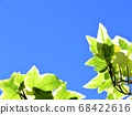 Ivy shines in the blue sky 68422616