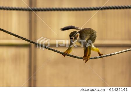 Common squirrel monkey 68425141