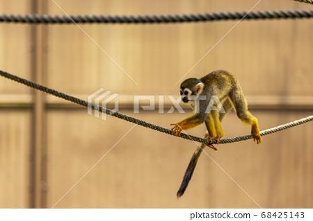 Common squirrel monkey 68425143