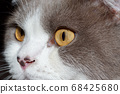 Close-up of a cat head with silver fur 68425680