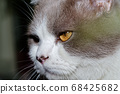 Close-up of a cat head with silver fur 68425682