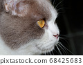 Close-up of a cat head with silver fur 68425683