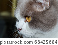 Close-up of a cat head with silver fur 68425684