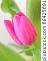 Close-up of pink tulip flower against green leaves 68425691