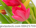 Close-up of tulip petal against green leaves 68425709