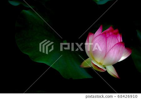 Beautiful lotus flower 68426910