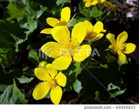 marsh marigold, yellow flower, 68430822