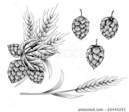 Engraving style hops and wheat 68444291
