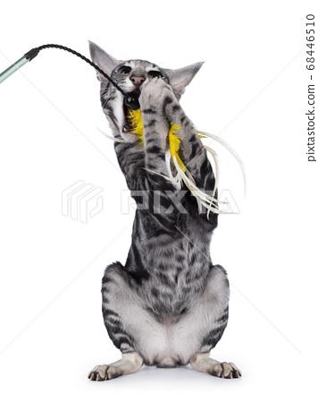 Silver tabby Oriental Shorthair cat on white 68446510