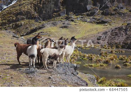 玻利維亞駱駝集團 68447505