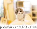 부러진 귀 스코티시 폴드의 새끼 고양이 삼색 털 68453148