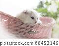 정원에서 휴식 부러진 귀 장모 스코티시 폴드의 새끼 고양이 68453149