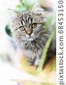 녹색 중 장모 스코티시 폴드의 새끼 고양이 68453150