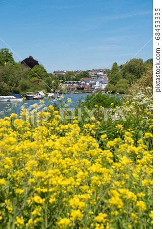 River Thames flowing through Richmond and rape blossoms England 68453335