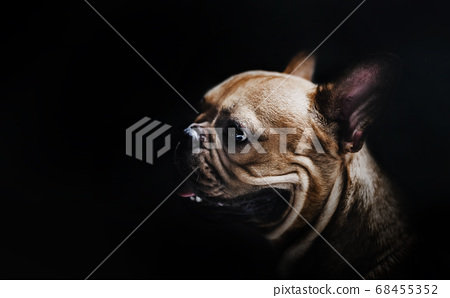 portrait in dark of pug dog 68455352
