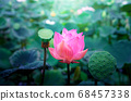 Pink lotus flowers in the lotus pond 68457338