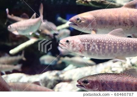Chars and river fish swimming in an aquarium at Gyogyo Land in Toyokawa City, Aichi Prefecture 68460787